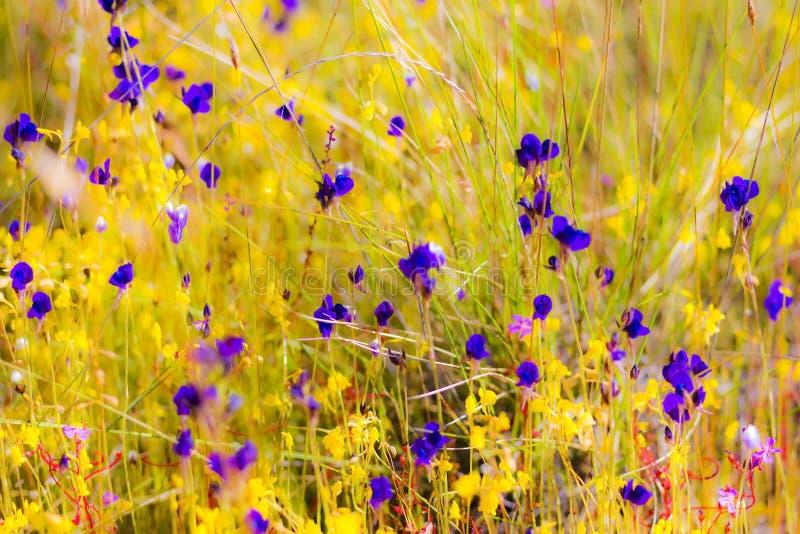 Flor exterior do Utricularia imagens de stock royalty free