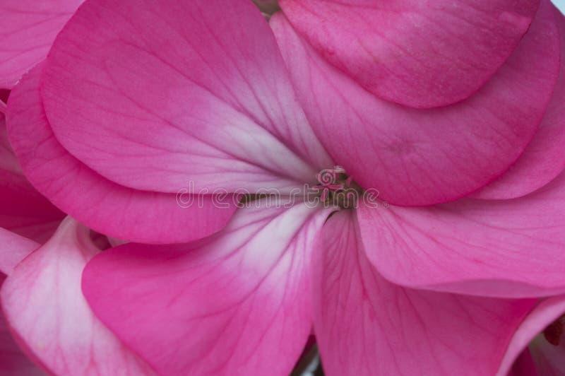 Flor extrema del geranio del rosa del primer fotografía de archivo