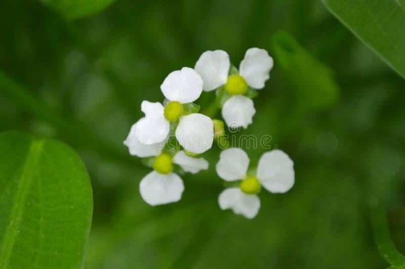 Flor fêmea da seta do bulltongue, sp do Sagittaria foto de stock royalty free