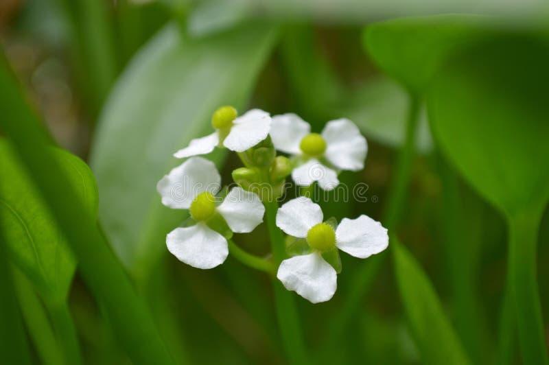 Flor fêmea da seta do bulltongue, sp do Sagittaria imagens de stock