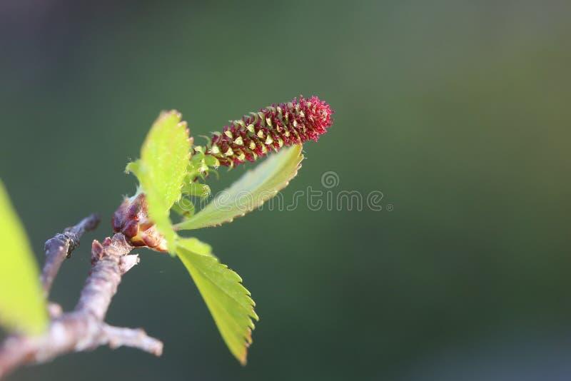 Flor fêmea de pubescens da bétula, o vidoeiro fofo imagens de stock royalty free