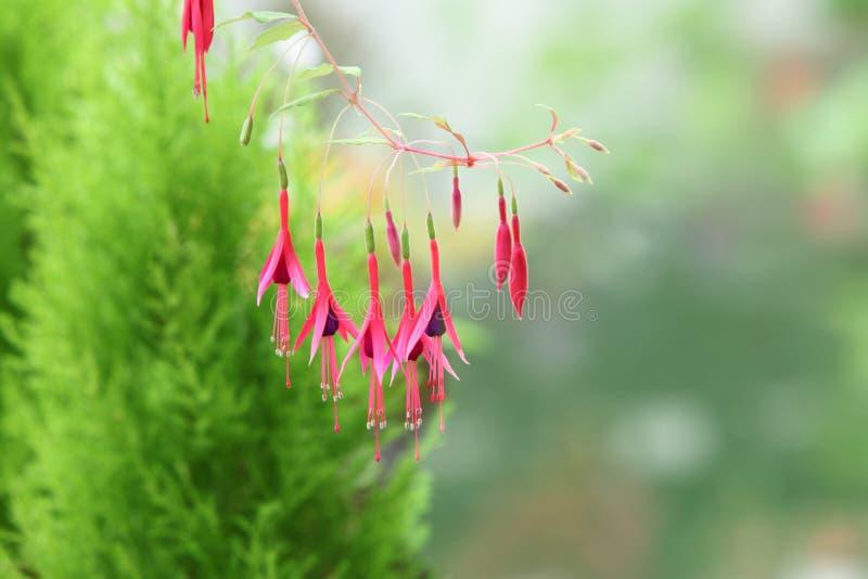 Flor fúcsia fotografia de stock