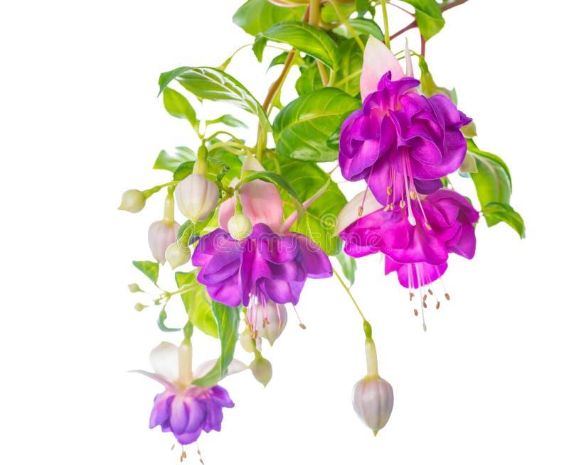 A flor fúcsia lilás dos ramos é isolada no fundo branco, ` fotos de stock royalty free