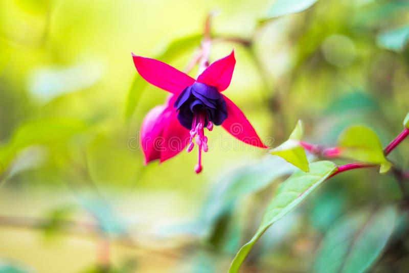 Flor f?csia do magellanica, f?csia do colibri ou f?csia r?sistente, flores f?csia de suspens?o nas m?scaras do rosa, roxas fotos de stock