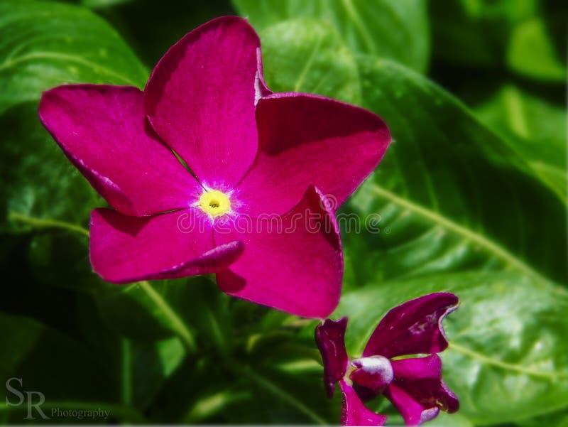 Flor Fiusha- fotos de archivo