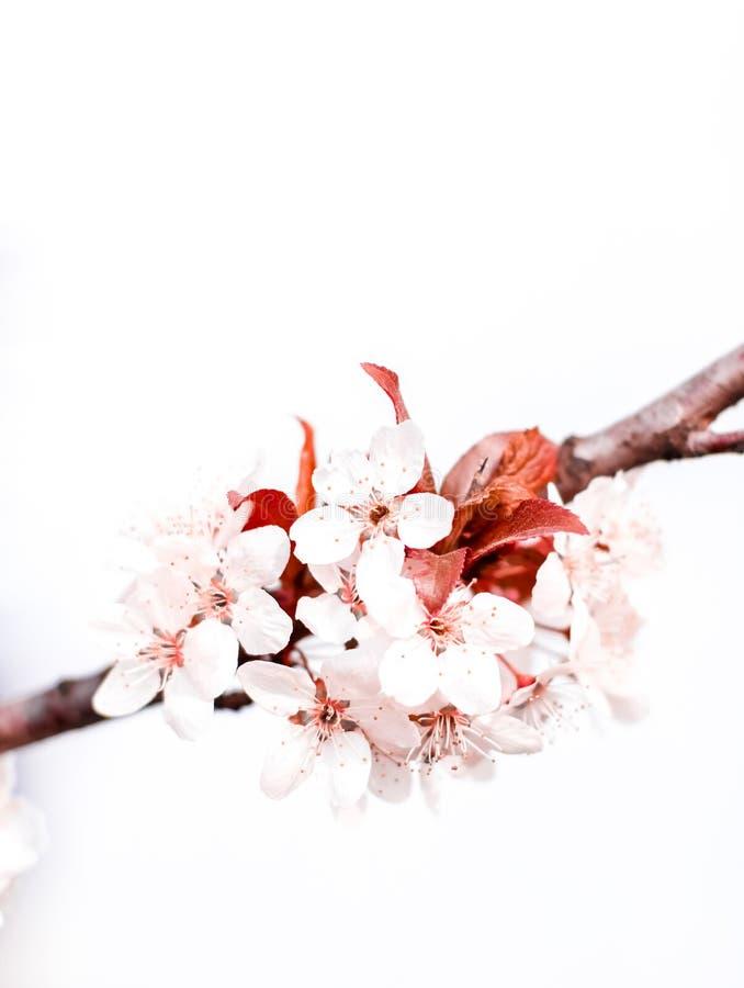 Flor floral en la primavera, flores rosadas como fondo de la naturaleza ilustración del vector