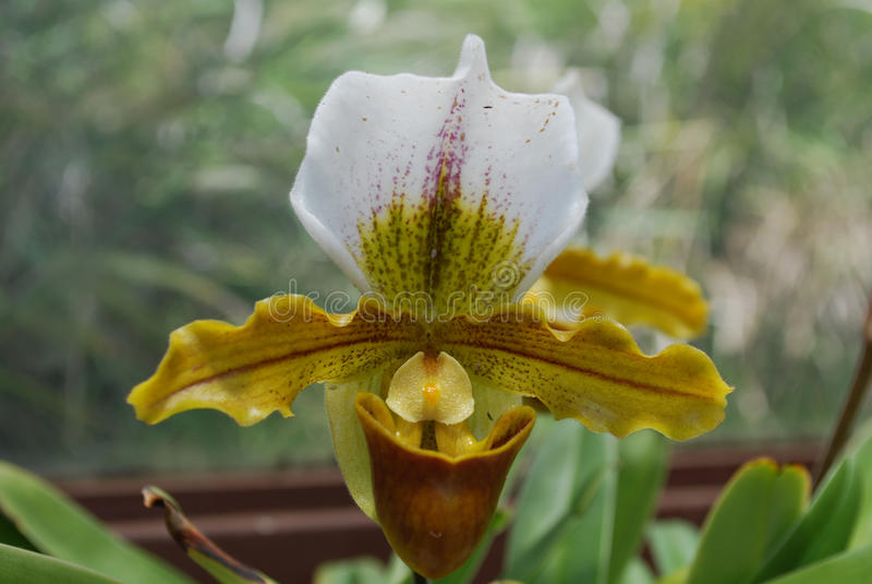 Flor floreciente blanco y amarillo perfecto de la flor de la orquídea fotografía de archivo