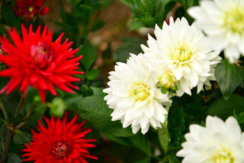 Flor floreciente de la dalia, fiebre del color, jardín en el Reino Unido foto de archivo libre de regalías