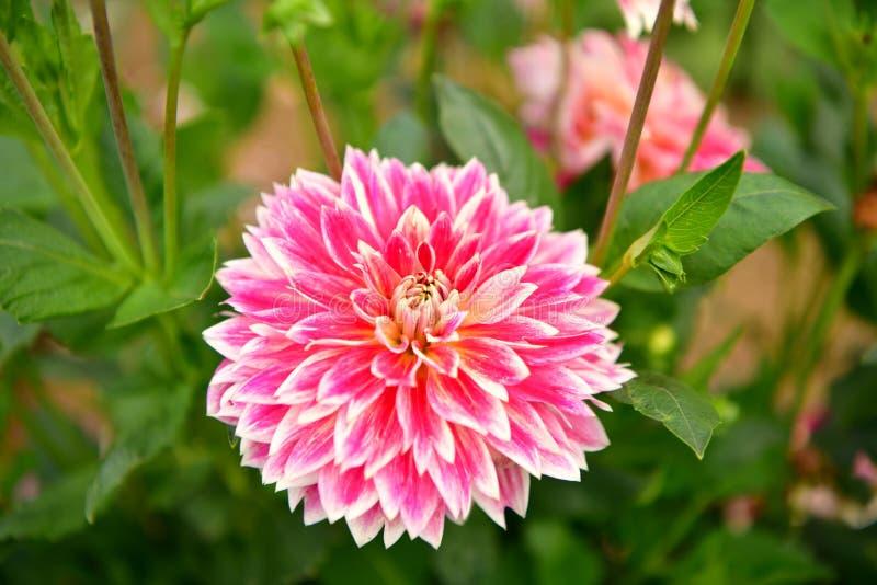 Flor floreciente de la dalia, fiebre del color, jardín en el Reino Unido foto de archivo