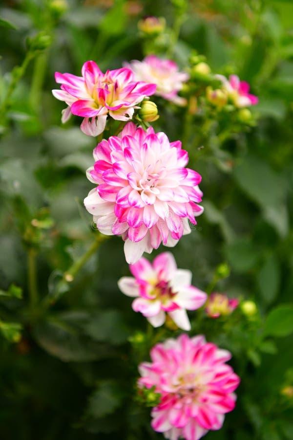 Flor floreciente de la dalia, fiebre del color, jardín en el Reino Unido fotografía de archivo