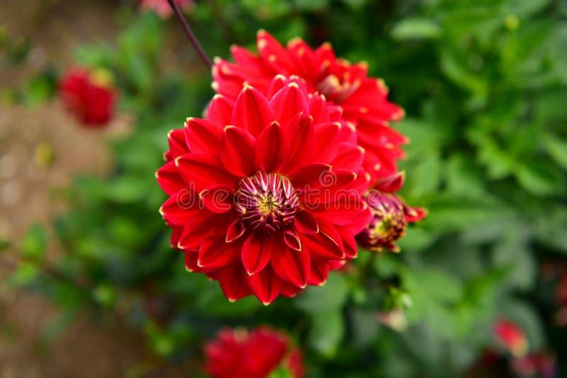 Flor floreciente de la dalia, fiebre del color, jardín en el Reino Unido fotos de archivo