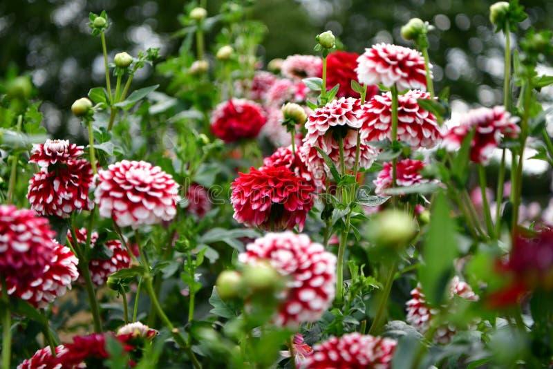Flor floreciente de la dalia, fiebre del color, jardín en el Reino Unido fotografía de archivo libre de regalías
