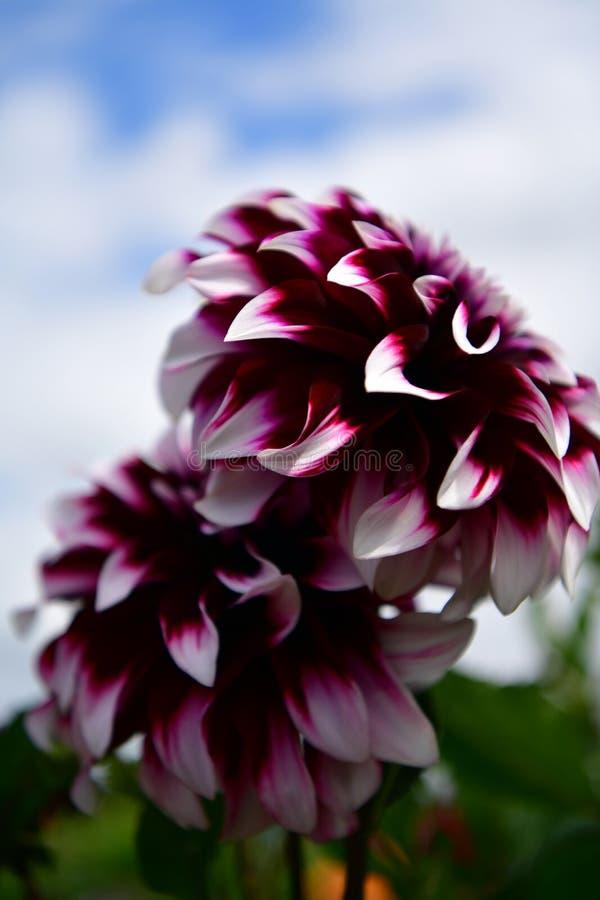 Flor floreciente de la dalia, fiebre del color, jardín en el Reino Unido fotos de archivo libres de regalías