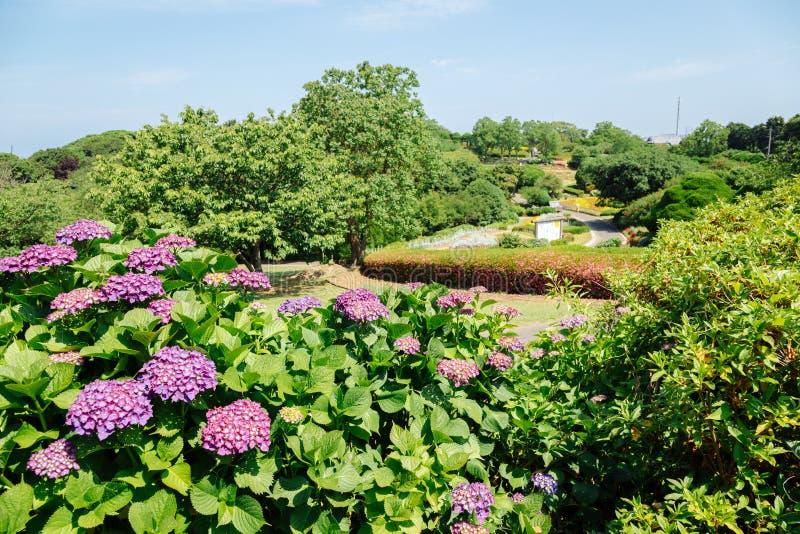 Flor floreciente de la hortensia y paisaje del parque imagen de archivo libre de regalías