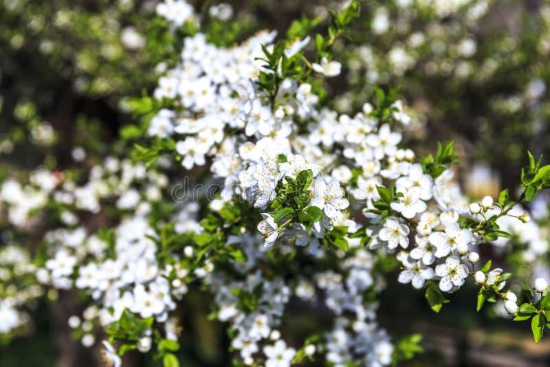 Flor floreciente de la manzana en mayo fotos de archivo