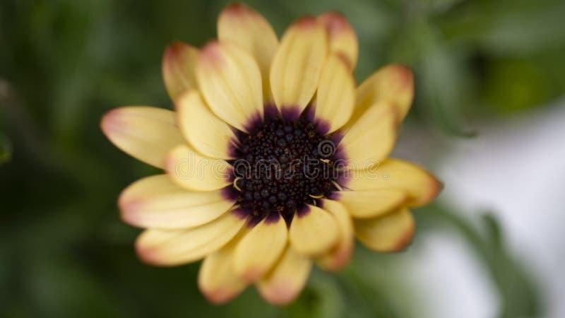 Flor floreciente de la margarita africana en el jard?n Margarita africana de la sinfon?a anaranjada foto de archivo