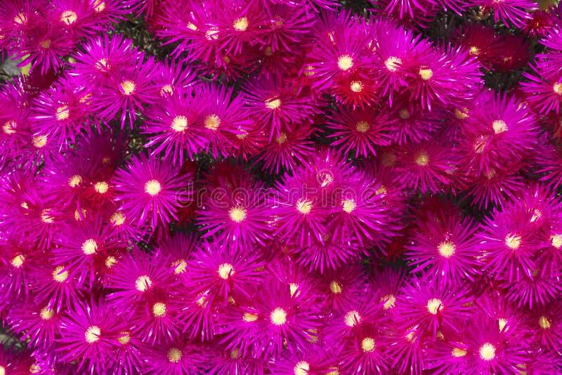Flor floreciente de las plantas de hielo fotografía de archivo libre de regalías