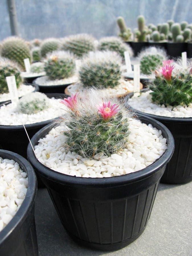 Flor floreciente del cactus de Bocasana del Mammillaria fotos de archivo libres de regalías