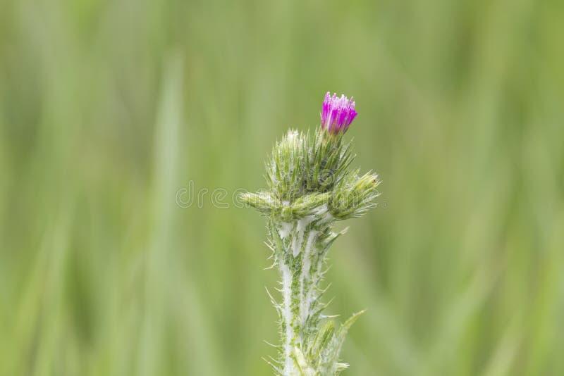 Flor floreciente del cardo de leche sobre el fondo verde, cierre para arriba, macro imagen de archivo