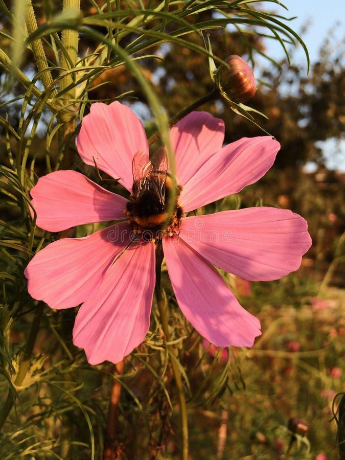 Flor floreciente del cosmos y una abeja foto de archivo libre de regalías