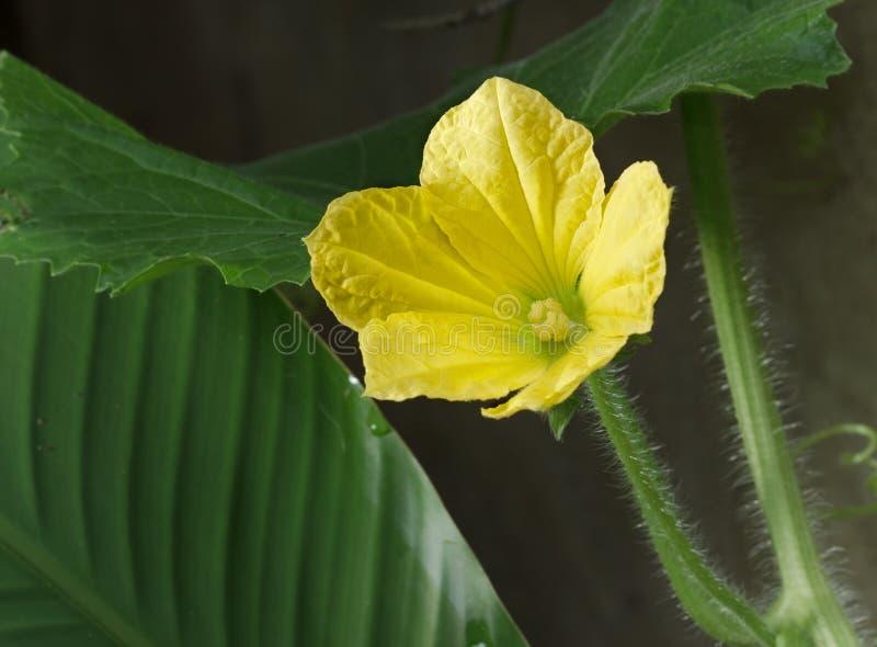 Flor floreciente del melón de invierno fotos de archivo libres de regalías