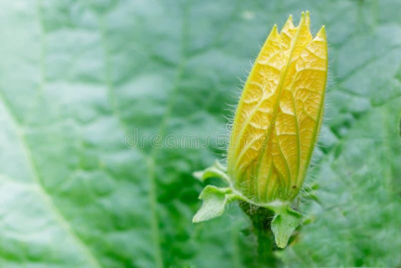 Flor floreciente del melón de invierno foto de archivo