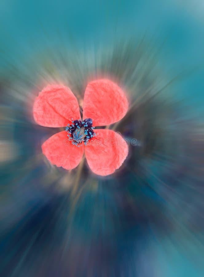 Flor floreciente hermosa de la amapola entonada en estilo del vintage en colores amelocotonados del rosa y del trullo Efecto borr imágenes de archivo libres de regalías