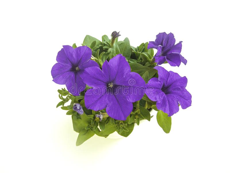 Flor floreciente púrpura de la petunia en ángulo superior del pote aislada imagenes de archivo