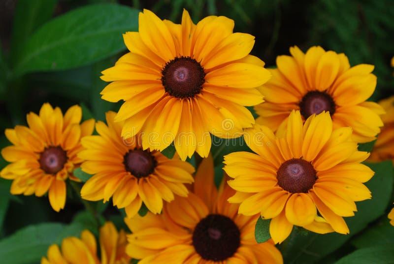 Flor floreciente perfecto de la flor del Rudbeckia en un jardín fotos de archivo