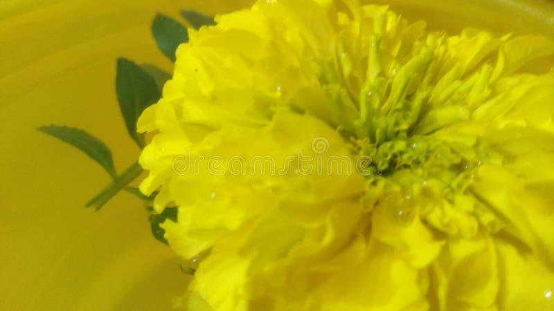 flor flotante del oro de Maria fotografía de archivo