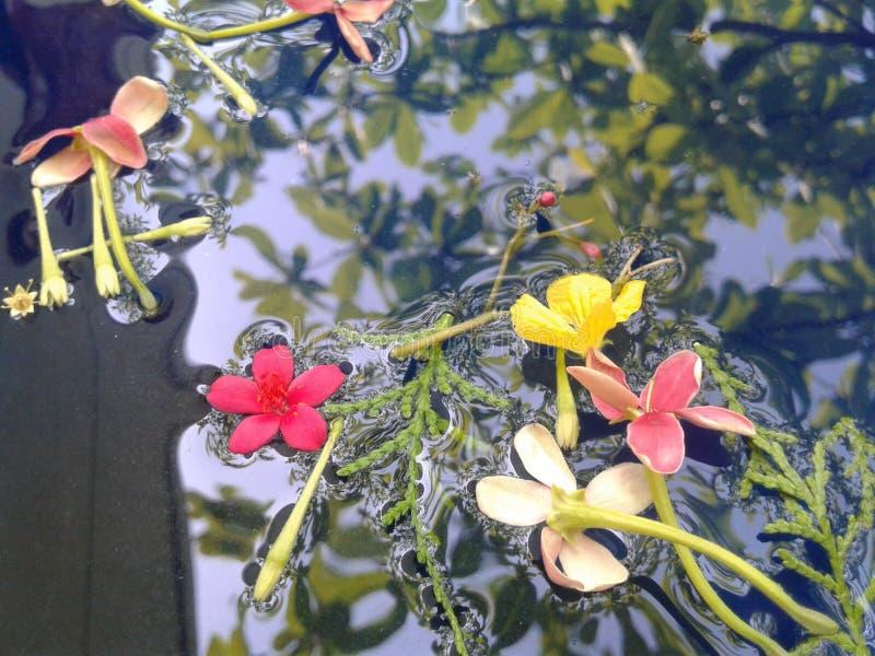 flor flotante en la enredadera de Rangoon del agua fotografía de archivo libre de regalías