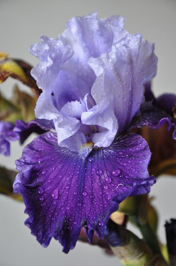 Flor fresca bonita da íris com gotas da água fotografia de stock