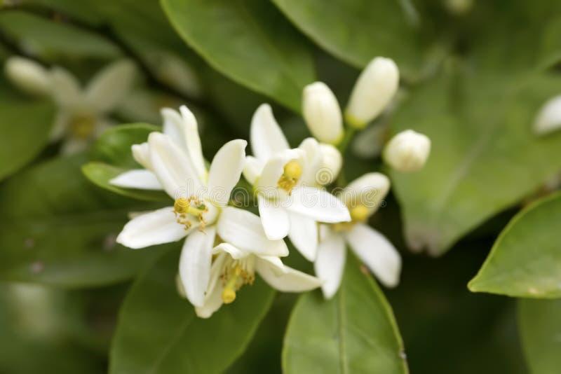 Flor fresca da árvore alaranjada fotos de stock royalty free