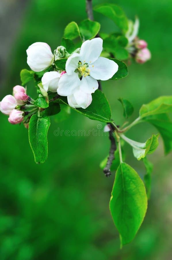 Flor fresca da maçã fotografia de stock
