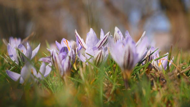 Flor fresca del azafrán de Snowdrops Fondo del resorte imagen de archivo