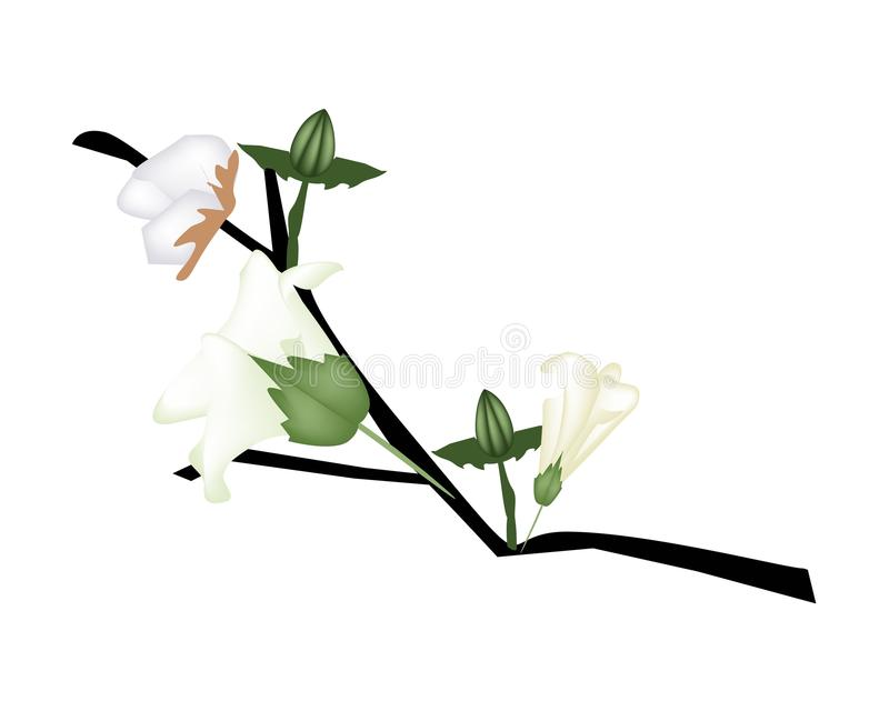 Flor fresca do algodão com o botão no ramo ilustração royalty free