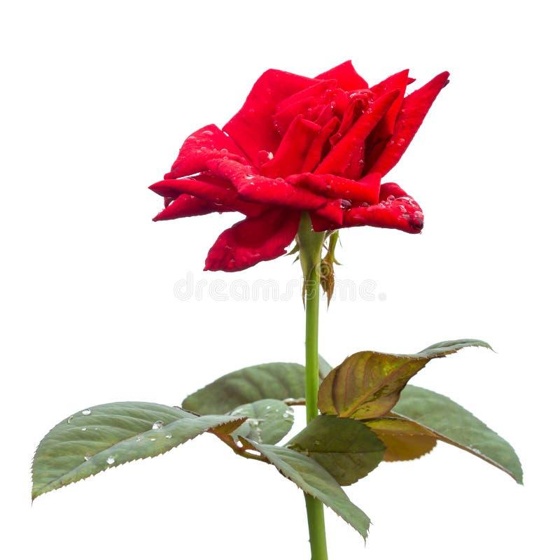 Flor fresca macra de la rosa del rojo en rama con la hoja verde Aislado imagen de archivo