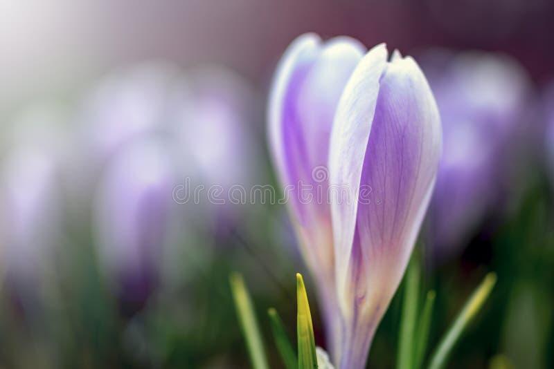Flor fresca nova do tiro com botão fechado, foco macio, luz delicada Flores violetas dos açafrões na névoa, romântico sonhad fotos de stock