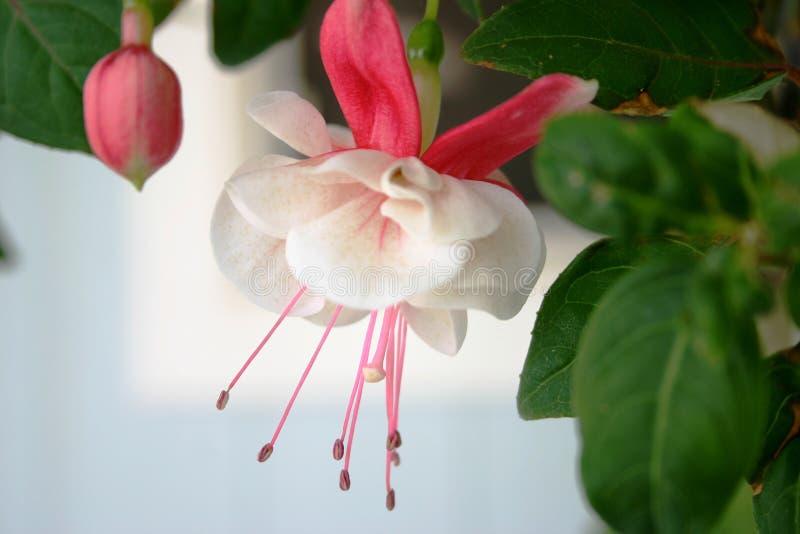 Flor fucsia imagenes de archivo