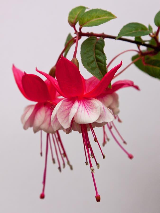 Flor fucsia imagen de archivo libre de regalías