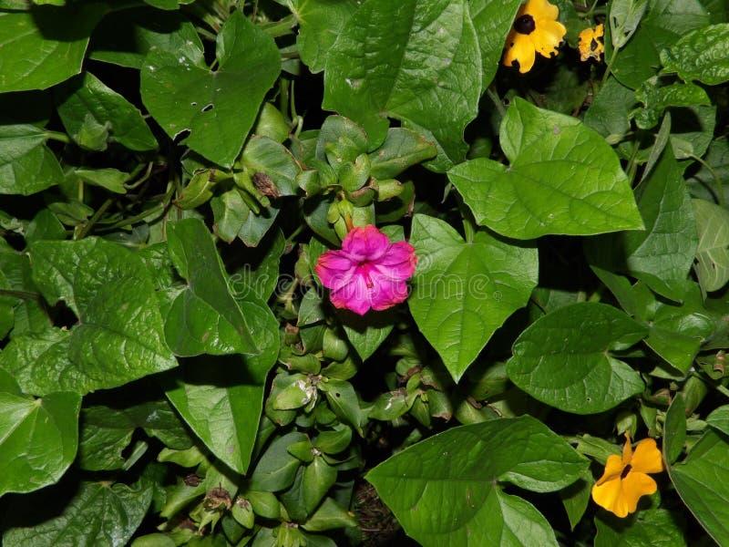 Flor fucsia solitario del reloj del ` de Four-O en medio de un poco de verdor imagen de archivo