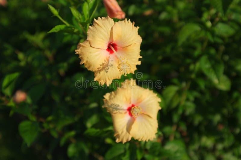 Flor gêmea na luz solar da manhã foto de stock
