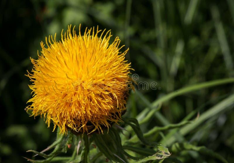 Flor gigante do amarelo do convencido do Knapweed imagens de stock royalty free