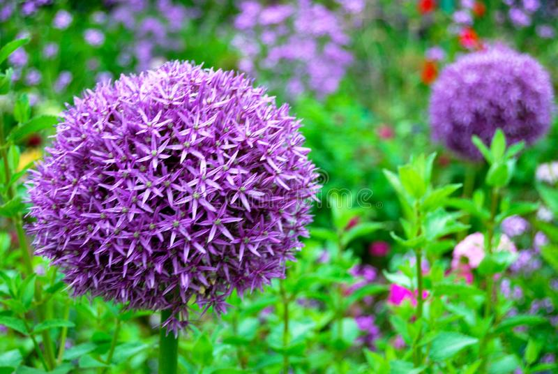 Flor gigante do roxo do Pompom do Allium fotografia de stock royalty free
