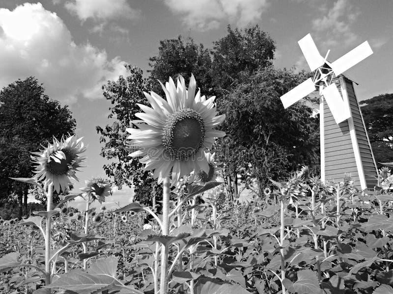 Flor, girasol imagen de archivo