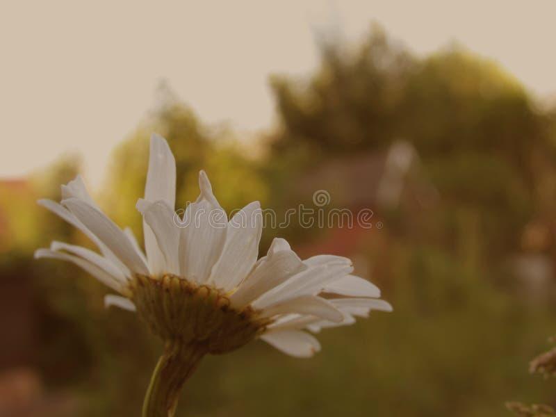 Flor grande de la margarita con los pétalos blancos en la esquina inferior en un fondo borroso de la naturaleza imágenes de archivo libres de regalías