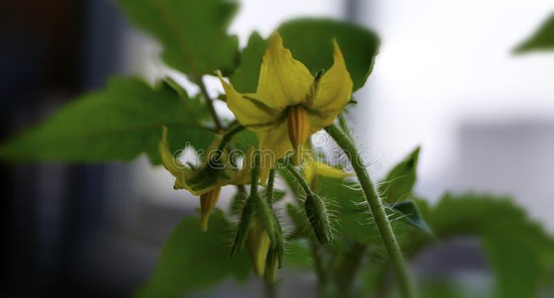 Flor grande del tomate de cereza imagenes de archivo