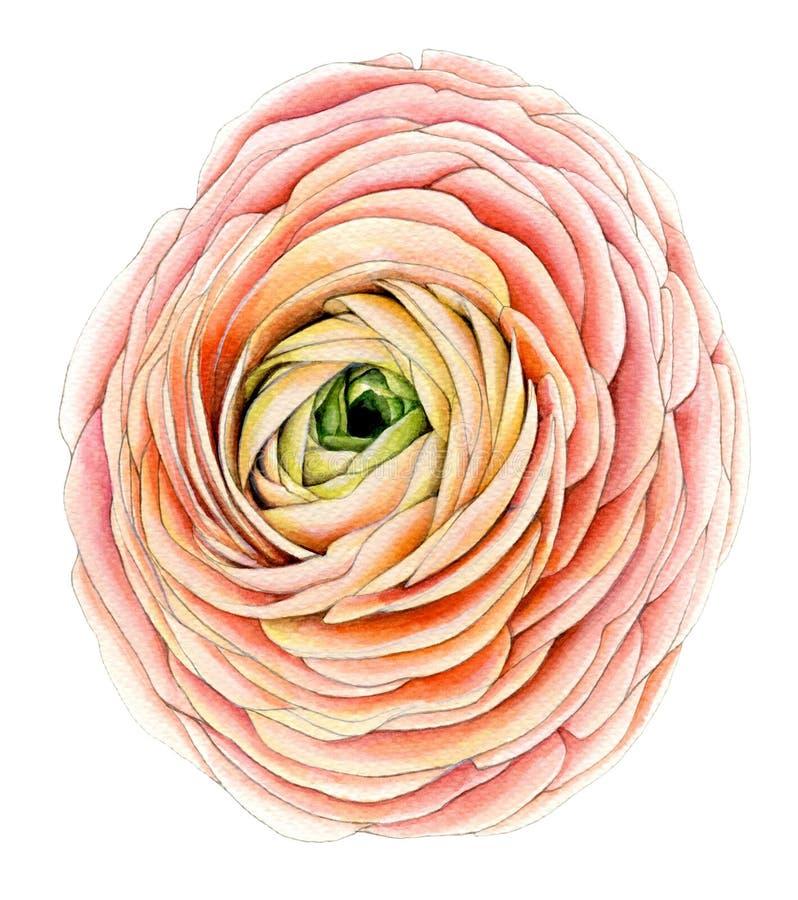 Flor grande do ranúnculo ilustração royalty free