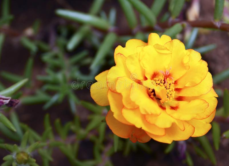 Flor grandiflora amarela de Portulaca no jardim Purslane, rosa alaranjada do musgo, fundo com espaço da cópia fotografia de stock royalty free