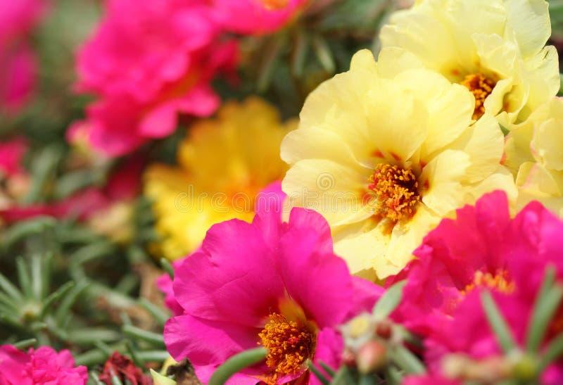 Flor grandiflora de Portulaca fotografia de stock royalty free